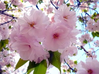 造幣局「桜の通り抜け」